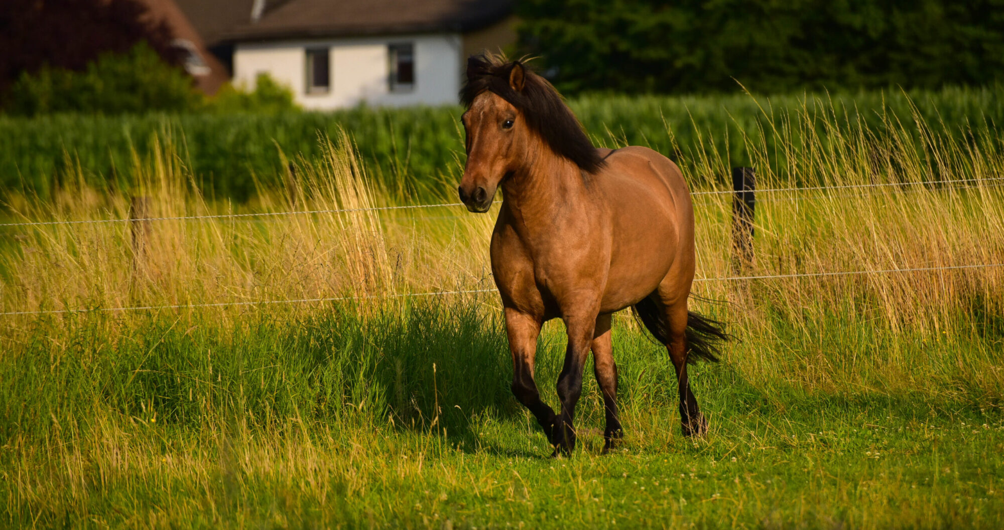 cavallino sano